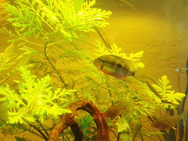 Mon aquarium planté Amazonien 260 litres Meeki_10