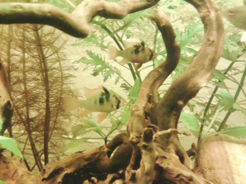 Mon aquarium planté Amazonien 260 litres Rami_c10