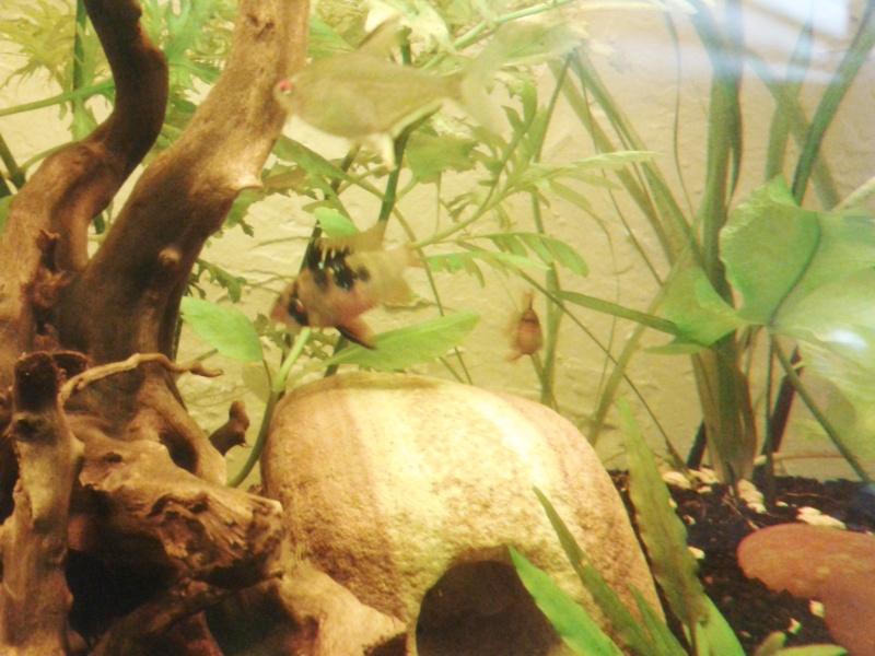 Mon aquarium planté Amazonien 260 litres Rami_m11