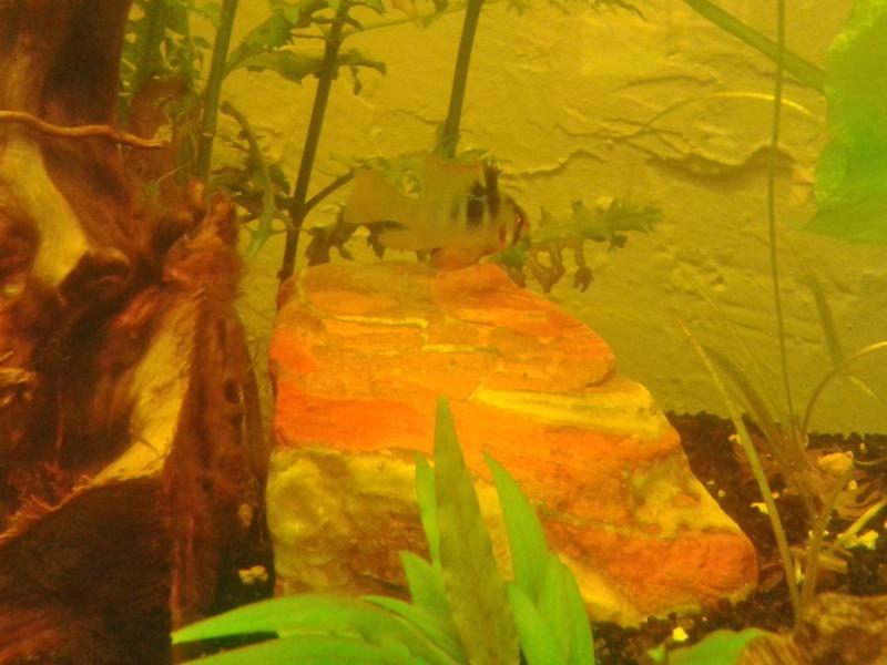 Mon aquarium planté Amazonien 260 litres Rami_s10