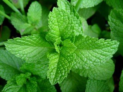 Health benefits of Mint Leaves Mint10