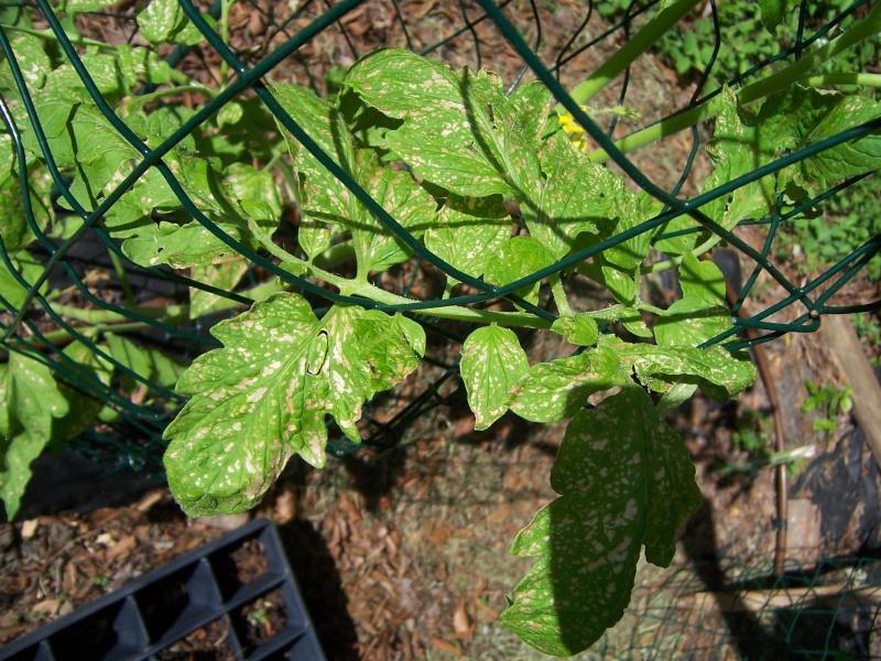 Tomato Disease ID help 100_6211