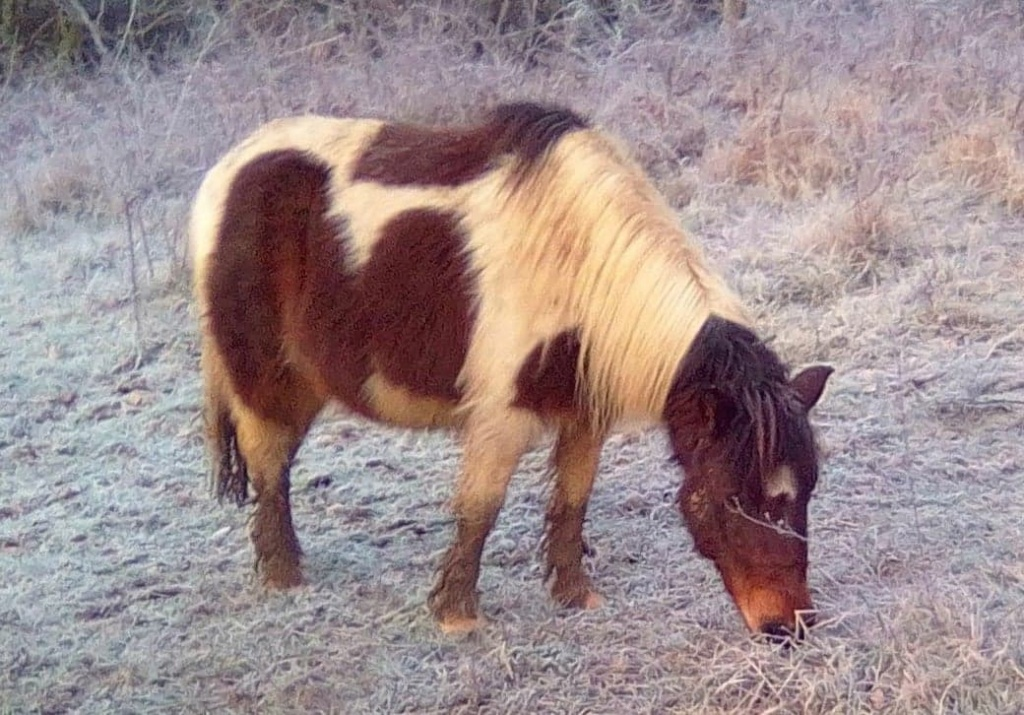 (24) CANNELLE - ONC Poney née en 2009 - 194 euros + don libre 13381210