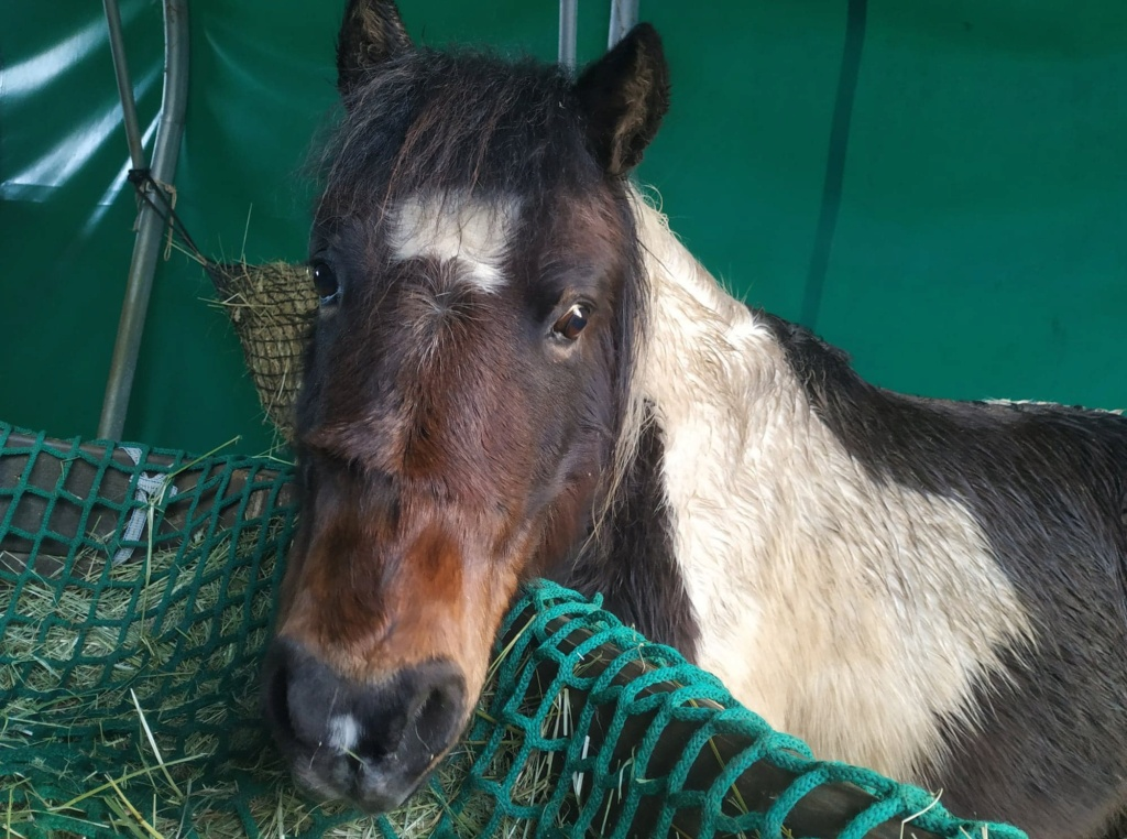 (24) CANNELLE - ONC Poney née en 2009 - 194 euros + don libre 13396310