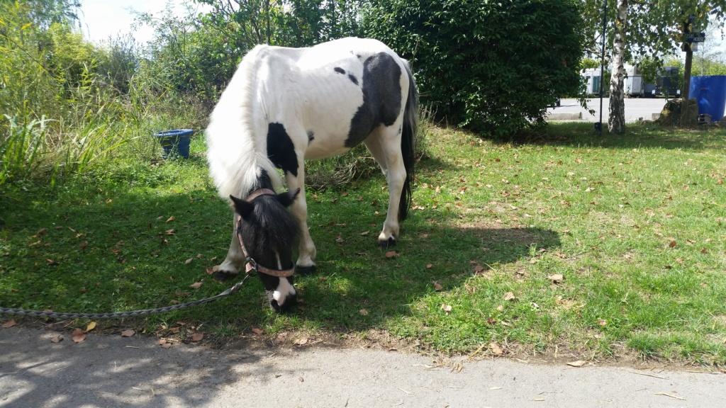 JINGER - ONC poney né en 2000 - adopté en octobre 2019 par Michelle 20190840
