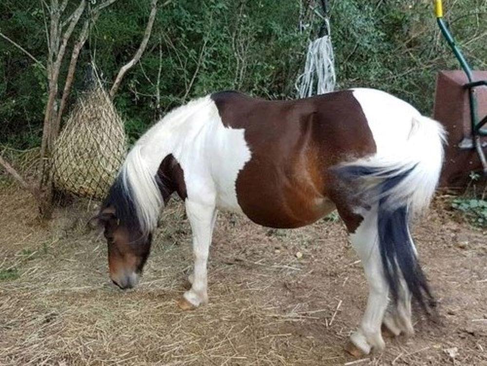 (24) CANNELLE - ONC poney née en 2009 - 194 € + don libre Cannel11
