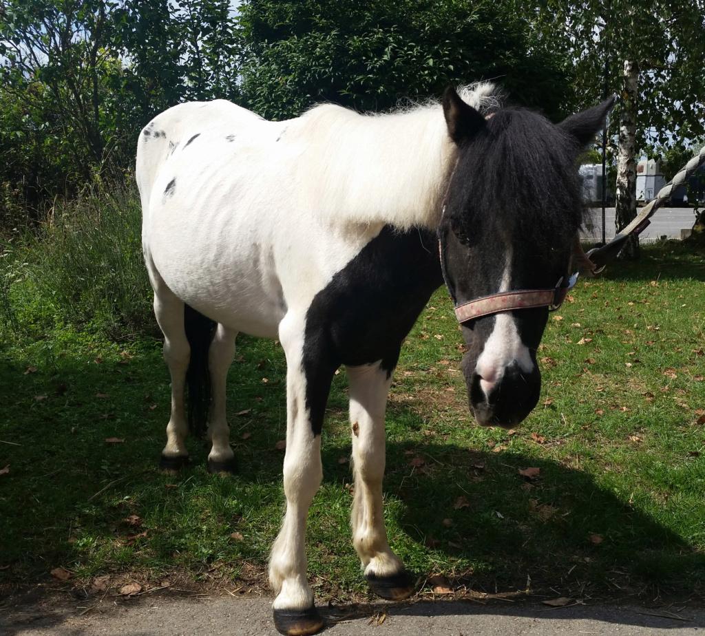 JINGER - ONC poney né en 2000 - adopté en octobre 2019 par Michelle Jinger10