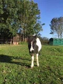 JINGER - ONC poney né en 2000 - adopté en octobre 2019 par Michelle Jinger13