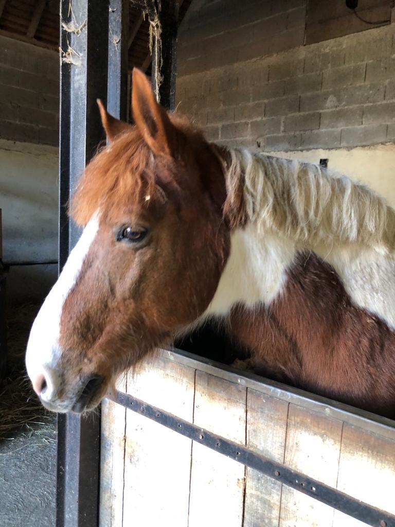 (37) POM (pomm) - ONC poney né en 1998 - 164 euros + don libre Pom_a10