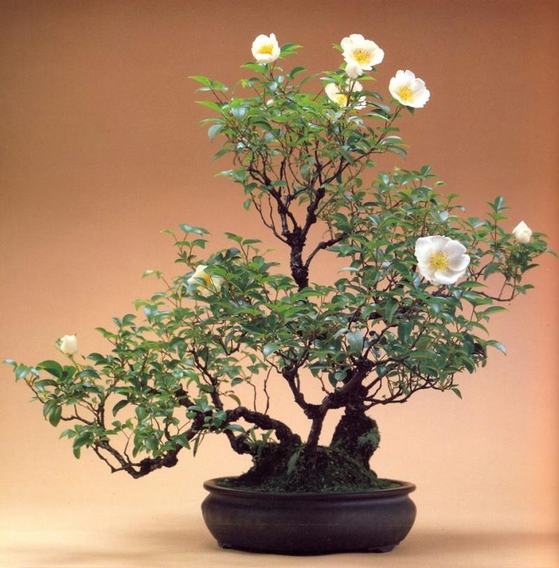 Rose Bonsai Rosa_m10