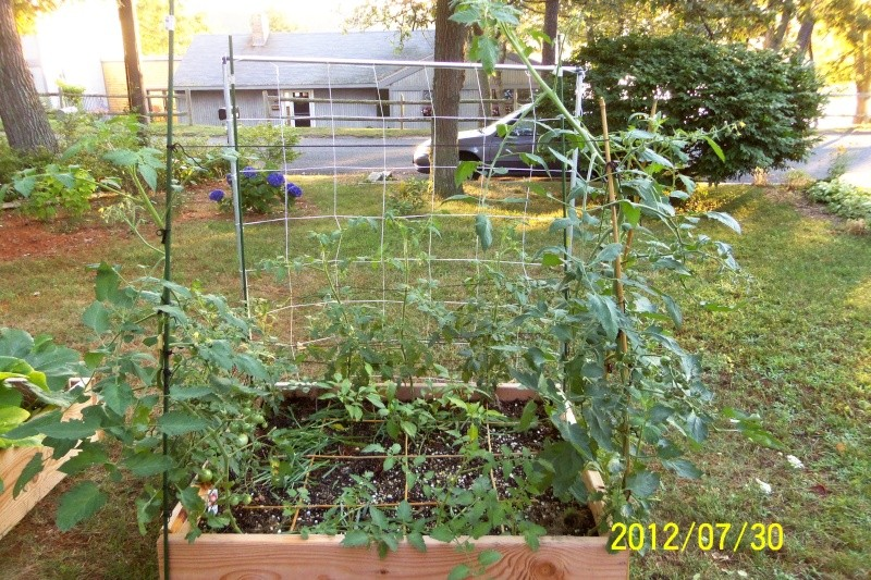 Tomato plants out growing cages and over 5 ft tall July_215