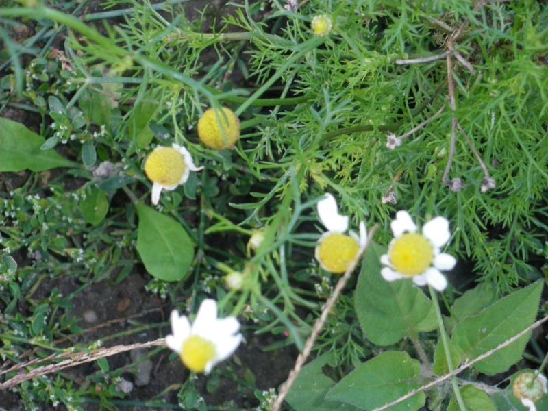 [Challenge] Identification de plantes sauvages avec votre guide Imgp0818