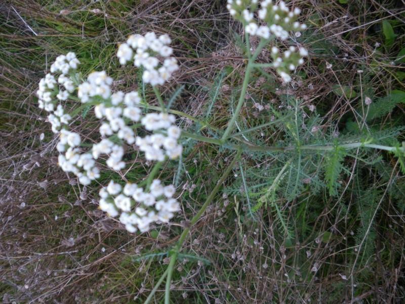 [Challenge] Identification de plantes sauvages avec votre guide Imgp0819