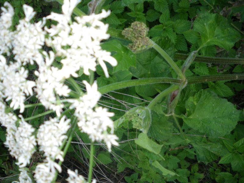 [Challenge] Identification de plantes sauvages avec votre guide Imgp0821