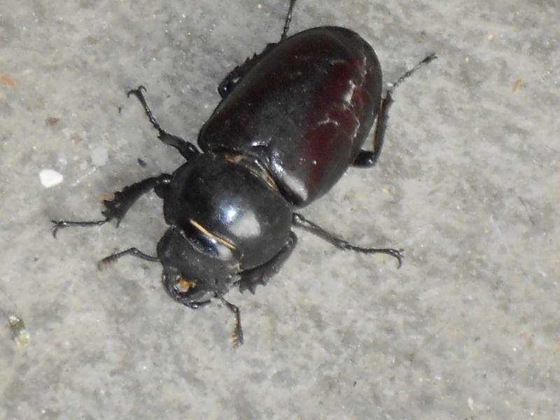 Insecte noir à carapace Dscn4610