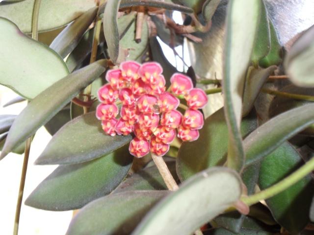Hoya burtoniae 66110