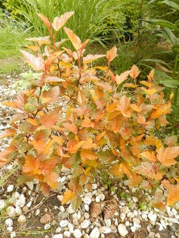 physocarpus opulifolius 'Amber Jubilee' Amberj10