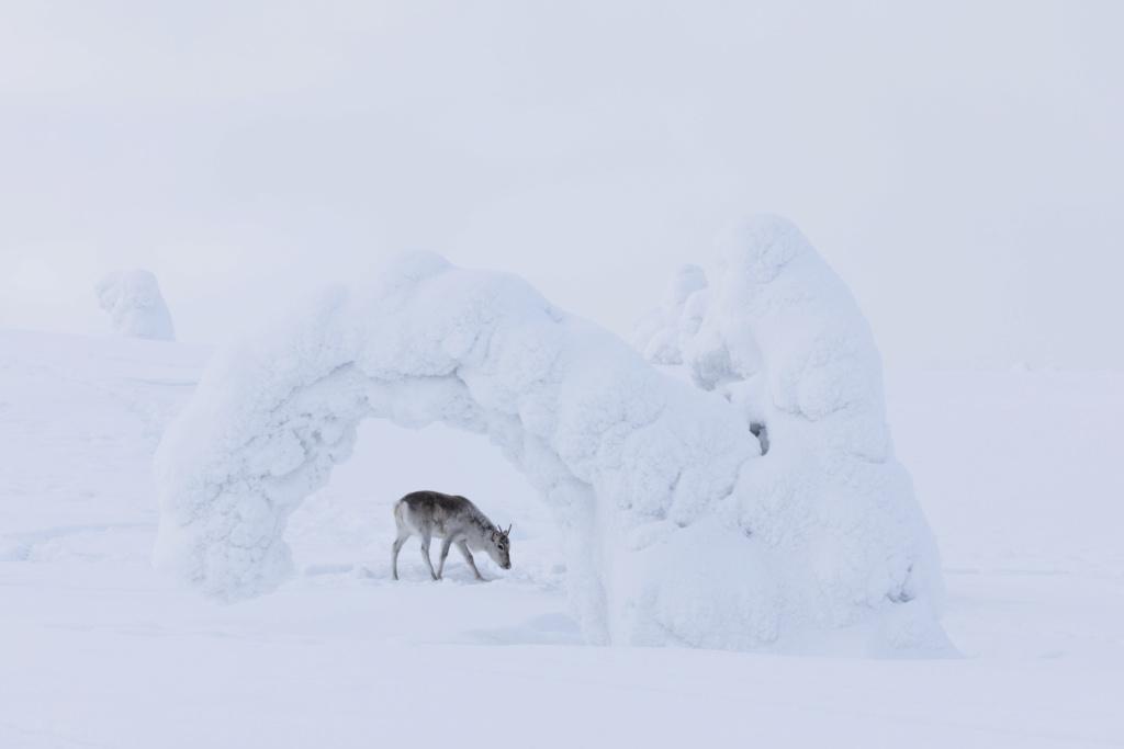 Aïlo, une Odysée en Laponie 20180210