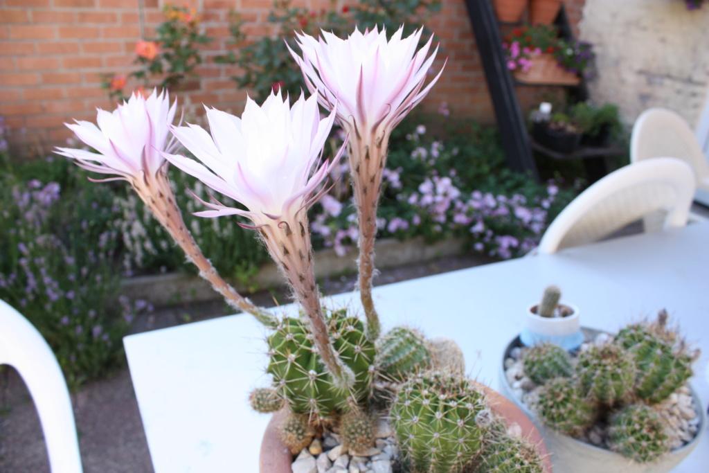 mes premieres fleurs de cactus Img_6724