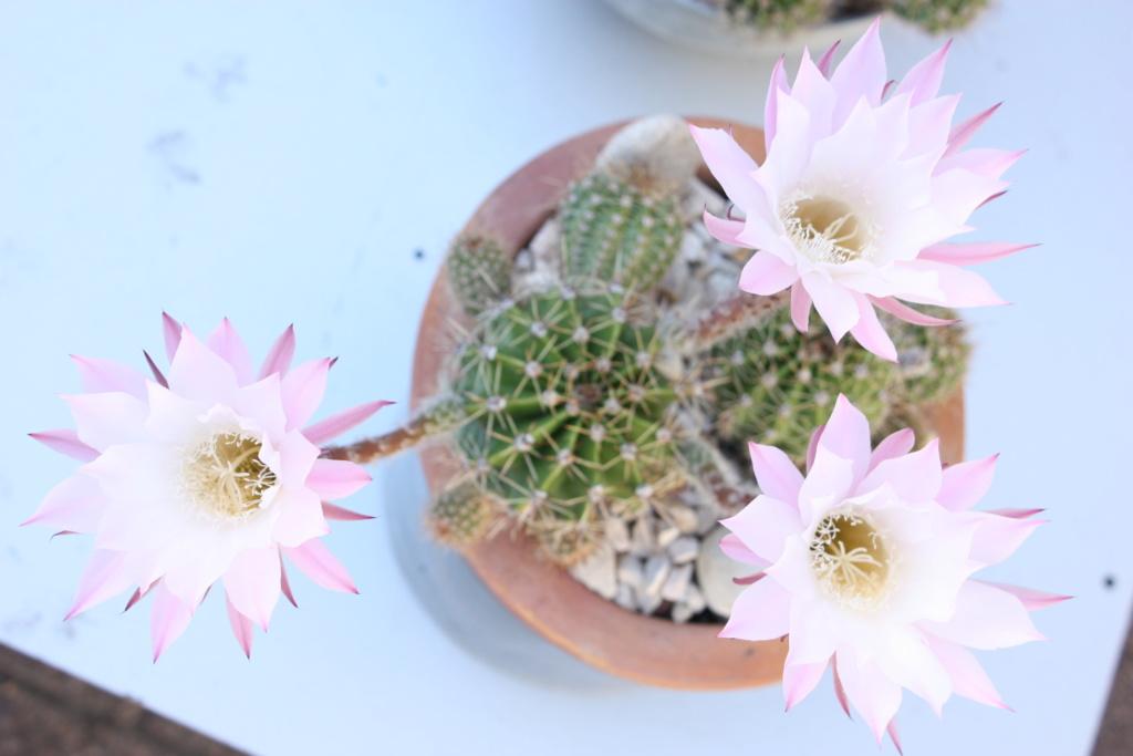 mes premieres fleurs de cactus Img_6726