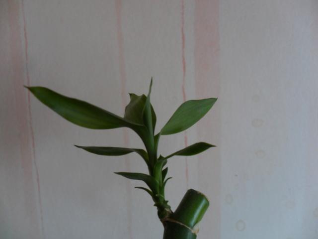 Bambou pascal Sam_4324