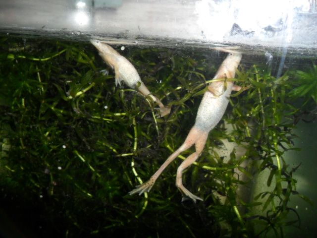 Mes grenouilles de petites tailles - Page 14 Sam_4812