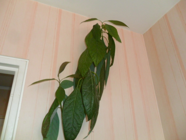 Mes avocatiers - Page 3 Sam_4935