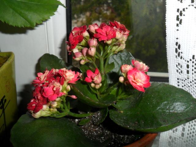 Kalanchoe du printemps Sam_4941