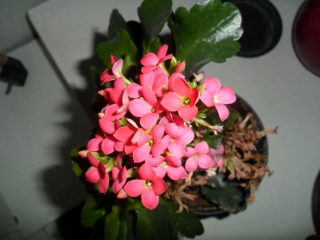 Kalanchoe du printemps Sam_4942