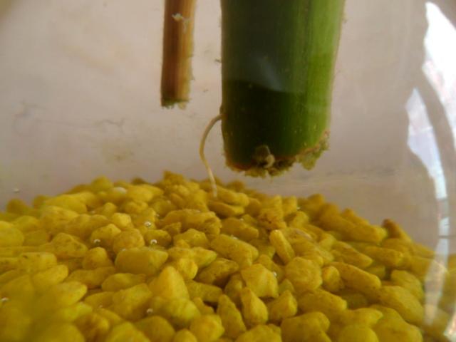 Bambou pascal Sam_4943