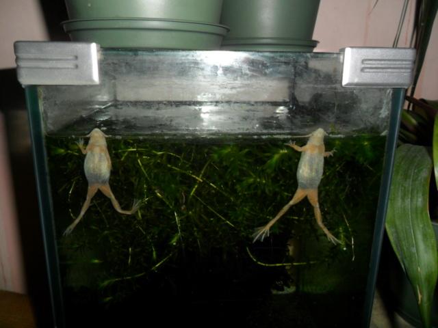 Mes grenouilles de petites tailles - Page 15 Sam_5014