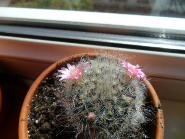 Mes bébés cactus - Page 6 Sam_5028
