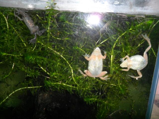 Mes grenouilles de petites tailles - Page 15 Sam_5113