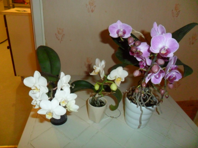 Mes orchidees - Page 5 Sam_5449