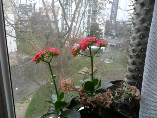 Kalanchoe du printemps Sam_5512