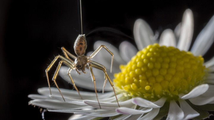 Spiders Can Fly Hundreds of Miles Using the Charge Field Lead_710