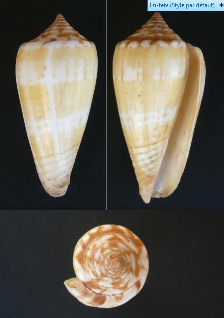 1 Pionoconus consors (G.B. Sowerby I, 1833) / 2 Graphiconus janus (Hwass in Bruguière, 1792) Cone_a11