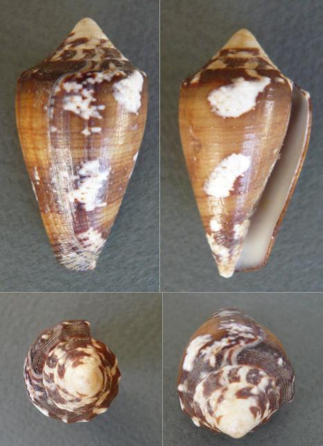 Conus regius - Gmelin, 1791 Cone_b10