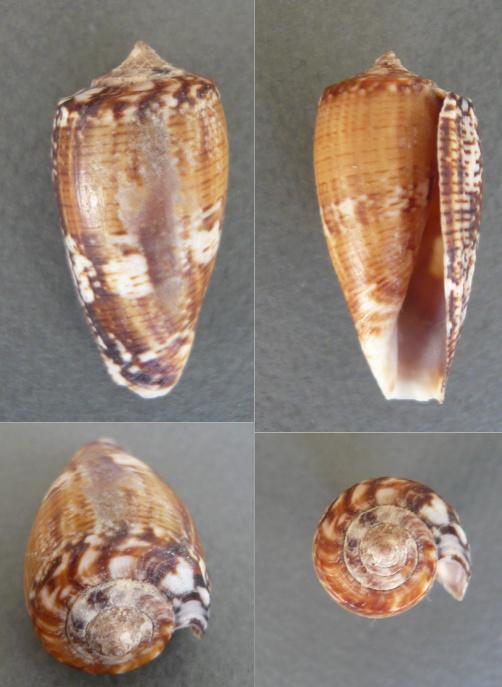 Conus_floraconus_cuvieri Czne_a10