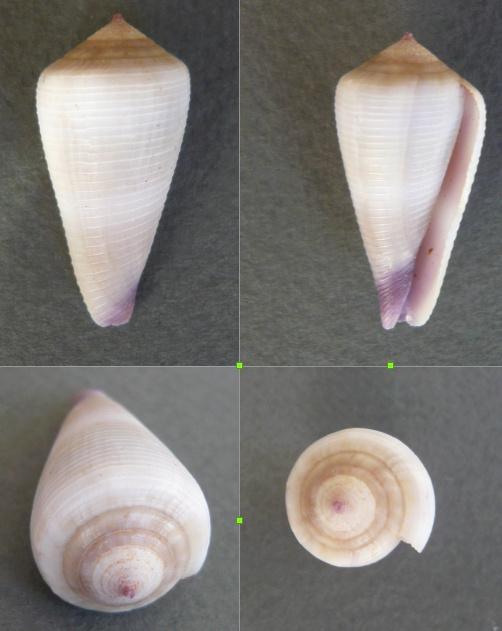 Virgiconus terebra (Born, 1778) - Juvénile Czne_g10