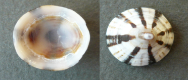 Cellana radiata - (Born, 1778) Pat_1c10