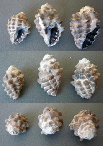Tenguella granulata - (Duclos, 1832) Tengue10