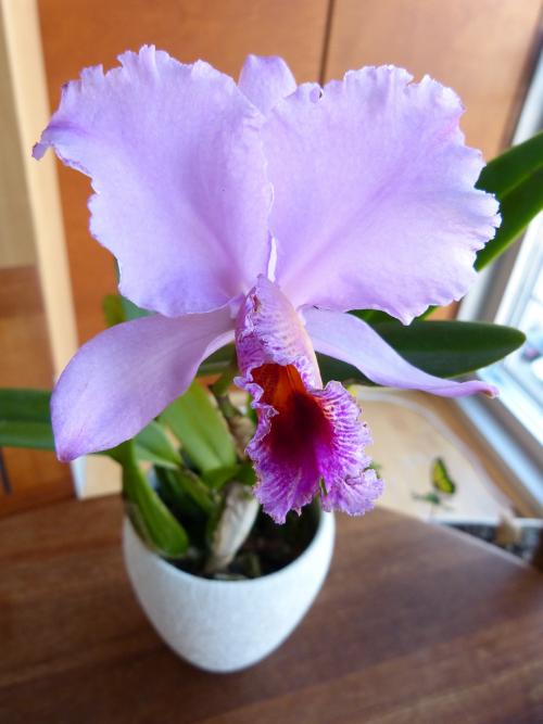 Orchideen-Neuzugang 2 - Seite 16 C_perc10
