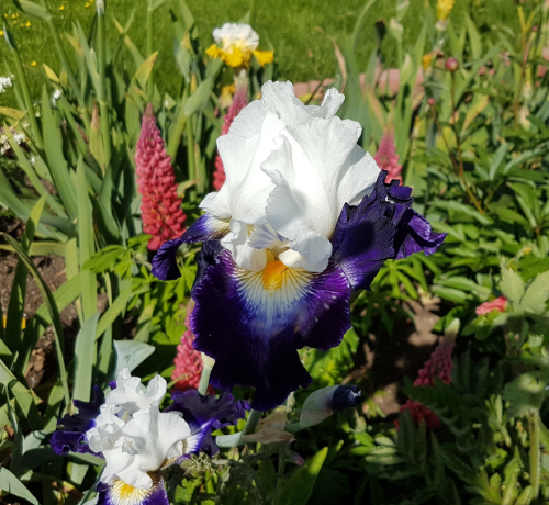 Schwertliliengewächse: Iris, Tigrida, Ixia, Sparaxis, Crocus, Freesia, Montbretie u.v.m. - Seite 28 Iris2010