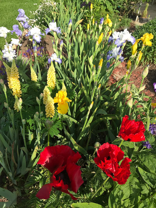 Schwertliliengewächse: Iris, Tigrida, Ixia, Sparaxis, Crocus, Freesia, Montbretie u.v.m. - Seite 28 Iris_217