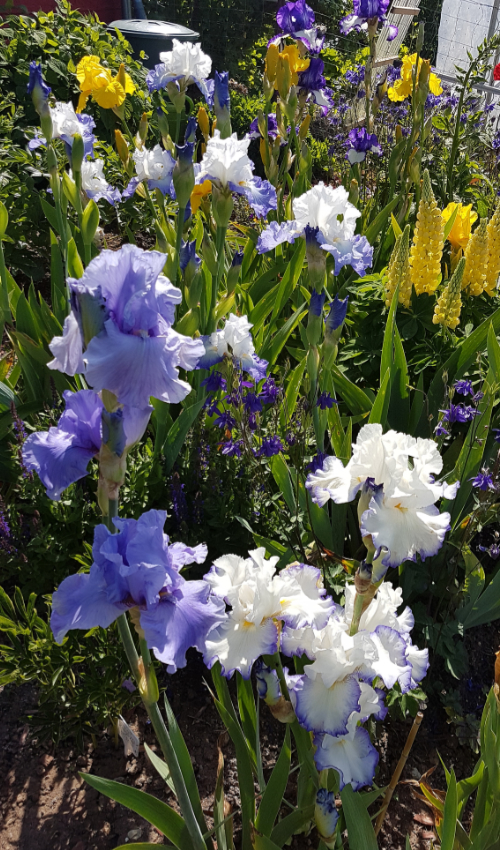 Schwertliliengewächse: Iris, Tigrida, Ixia, Sparaxis, Crocus, Freesia, Montbretie u.v.m. - Seite 28 Iris_220