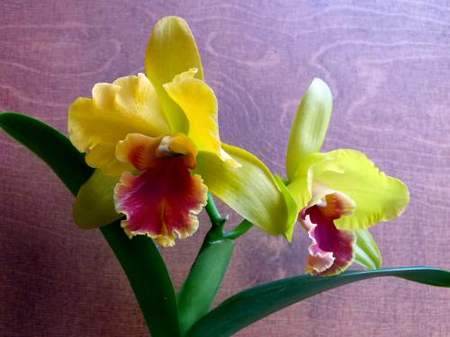 Orchideen-Neuzugang 2 - Seite 13 Obi_ca12