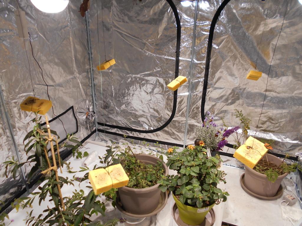Reproduction Aglais urticae Dscn1813