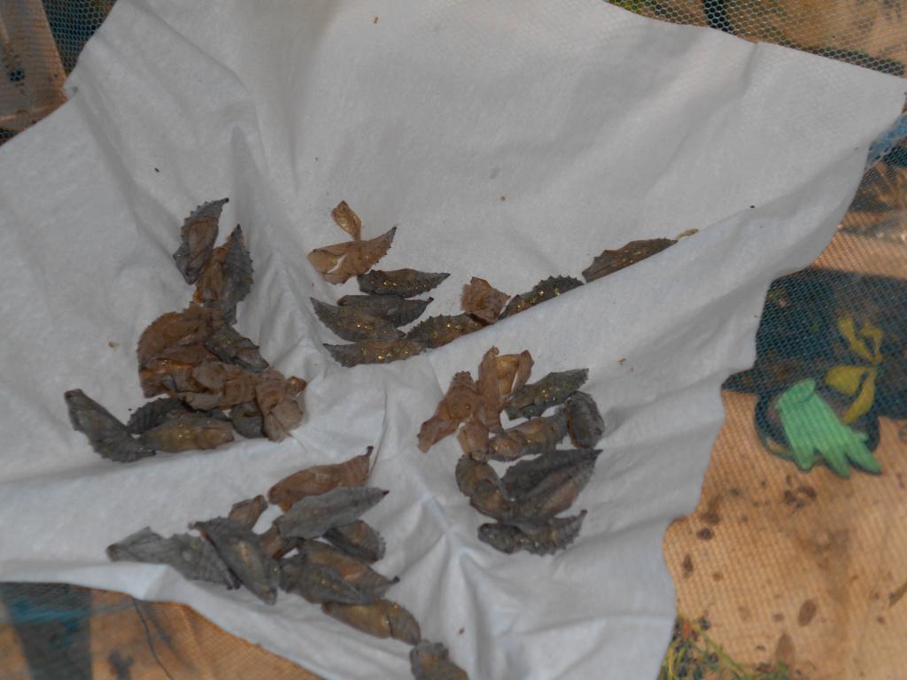 Installation élevage permanent rhopalocères locaux - Page 3 Dscn2320