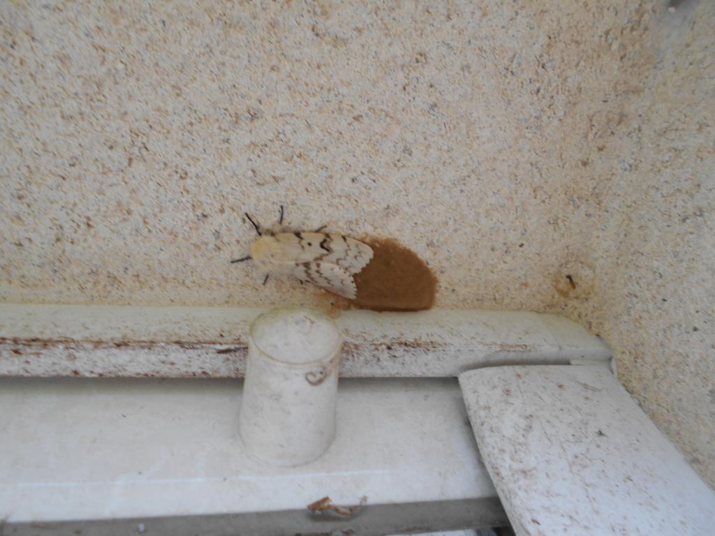 Ecaille martre et sphinx demi-paon (Arctia caja et Smerinthus ocellatus) Dscn2421